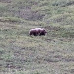 A Bear Rolling Down Hill.