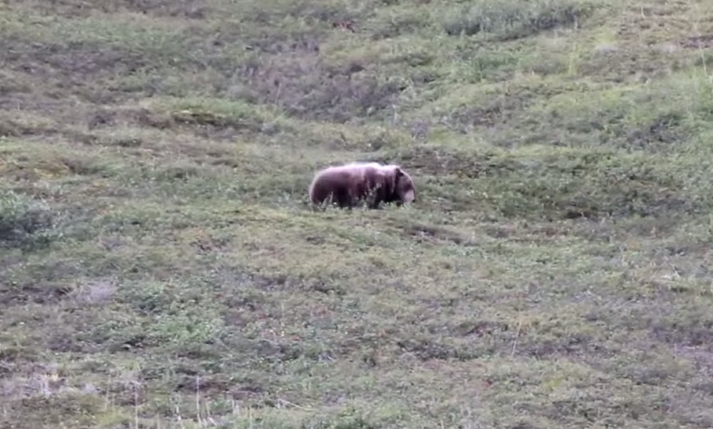 A Bear Rolling Down Hill.